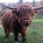 mucca scozzese