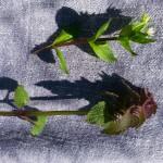 piante commestibili (2)